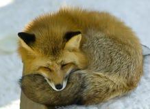 Roter Fuchs lizenzfreie stockfotos
