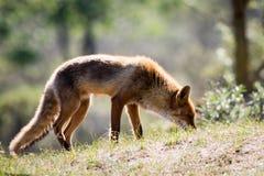 Roter Fuchs auf einem Hügel mit Sonnenlicht von hinten lizenzfreie stockfotos