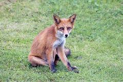 Roter Fuchs auf Gras Stockfoto