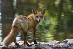 Roter Fuchs auf Ufer zurück anstarrend lizenzfreies stockfoto