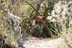 Roter Fuchs in den Büschen Lizenzfreies Stockbild