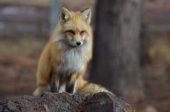 Roter Fuchs, der auf einem Felsen sitzt lizenzfreies stockfoto