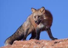 Roter Fuchs, der auf einem Flussstein mit blauem Himmel im Hintergrund steht Stockfoto