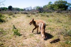 Roter Fuchs, der auf Gras geht lizenzfreies stockbild