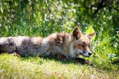 Roter Fuchs, der auf Gras sich entspannt lizenzfreie stockfotos