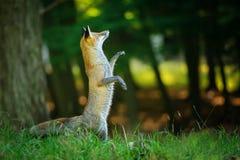 Roter Fuchs, der auf Hinterbeinen im Wald steht Lizenzfreie Stockbilder