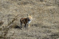 Roter Fuchs, der Blickkontakt aufnimmt Stockfotografie