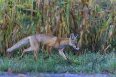 Roter Fuchs, der durch den Garten läuft Stockbild