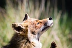 Roter Fuchs, der ein Jucken verkratzt stockbilder