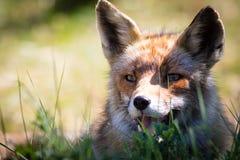 Roter Fuchs, der im Gras sich entspannt stockfotografie