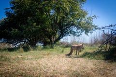 Roter Fuchs, der nah an einem Baum steht stockfotos