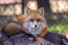 Roter Fuchs, der O ein Felsen sitzt lizenzfreies stockbild