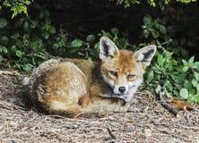 Roter Fuchs, der sich hinlegt und vom Schlaf gekräuseltes oben aufweckt stockfotos