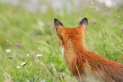 Roter Fuchs in der Wiese Stockfotos