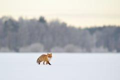 Roter Fuchs, der in Winter geht Lizenzfreies Stockbild