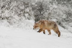 Roter Fuchs in einem Winter landschap, Stockbilder