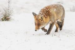 Roter Fuchs in einem Winter landschap, Lizenzfreie Stockfotografie