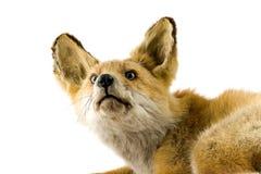 Roter Fuchs getrennt auf weißem Hintergrund Stockfotos