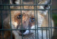 Roter Fuchs im Käfig Stockfotos