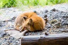 Roter Fuchs im Käfig Stockbilder