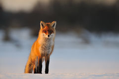 Roter Fuchs im Winter lizenzfreies stockfoto