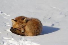 Roter Fuchs kräuselte sich oben in einem snowbank beim Anstarren Stockbilder