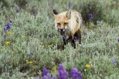Roter Fuchs mit der Wühlmaus, die durch Feld des Salbeis und der Wildflowers geht Stockbild