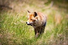 Roter Fuchs mit einer Maus in ihr ` s Mund stockbild