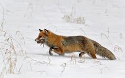 Roter Fuchs mit einer Wühlmaus Lizenzfreie Stockfotografie