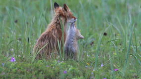 Roter Fuchs mit Jungen stock video footage