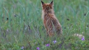 Roter Fuchs mit Jungen stock footage
