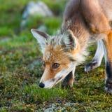 Roter Fuchs, Sonnenaufgang, Babia Gora, Polen Lizenzfreies Stockfoto