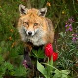 Roter Fuchs unter den Blumen Stockfoto