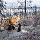Roter Fuchs Vixen, der ihre Junge am Höhlenstandort pflegt Stockfoto