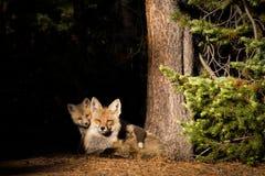 Roter Fuchs Vixen mit Ausrüstung stockbild