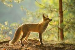 Roter Fuchs von der Seitenansicht in der Schönheitshintergrundbeleuchtung im Herbstwald Stockbild