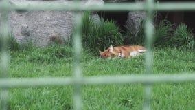 Roter Fuchs Vulpes, der auf dem grünen Gras liegt stock footage