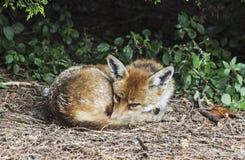 Roter Fuchs, Vulpes Vulpes, liegend unter einem Busch und als ob zu s gekräuselt stockfotografie
