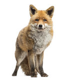 Roter Fuchs, Vulpes Vulpes, Stellung, lokalisiert Stockfotos
