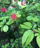 Roter Fuzzy Flower mit rotem Beerenobst lizenzfreies stockbild
