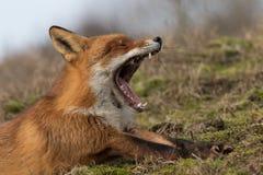 Roter gähnender Fuchs Lizenzfreies Stockfoto