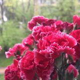 Roter Gartennelkeblumenstrauß stockfoto