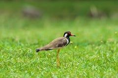 Roter geflochter Kiebitzvogel [Vanellus indicus] Lizenzfreies Stockfoto