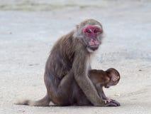 Roter gegenübergestellter Affe im thailändischen Tempel Stockfotos