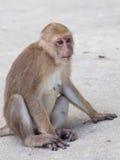Roter gegenübergestellter Affe im thailändischen Tempel Lizenzfreie Stockbilder