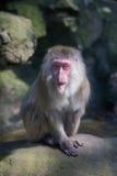 Roter gegenübergestellter Affe im Zoo Lizenzfreies Stockfoto