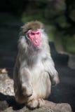 Roter gegenübergestellter Affe im Zoo Stockbilder