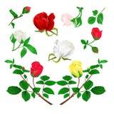 Roter gelber weißer Stamm der Rosebuds mit Blättern und Blüten auf einer weißen Hintergrundweinlese vector die editable Illustrat Stockfotos