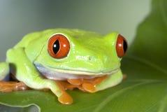 Roter gemusterter Baum-Frosch Stockfoto