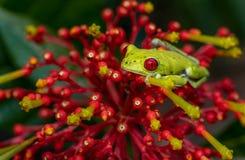 Roter gemusterter Baumfrosch stockfotografie